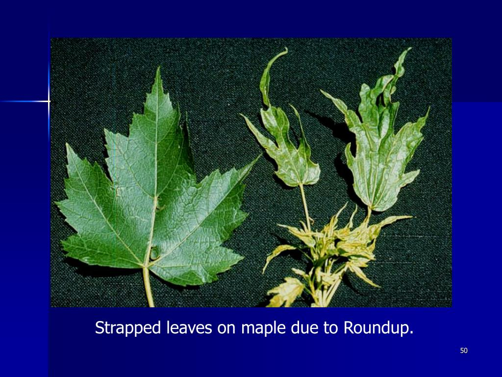 Strapped leaves on maple due to Roundup.