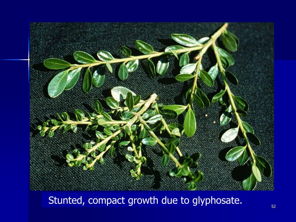 Stunted, compact growth due to glyphosate.
