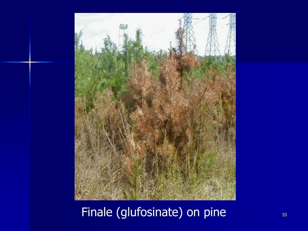 Finale (glufosinate) on pine