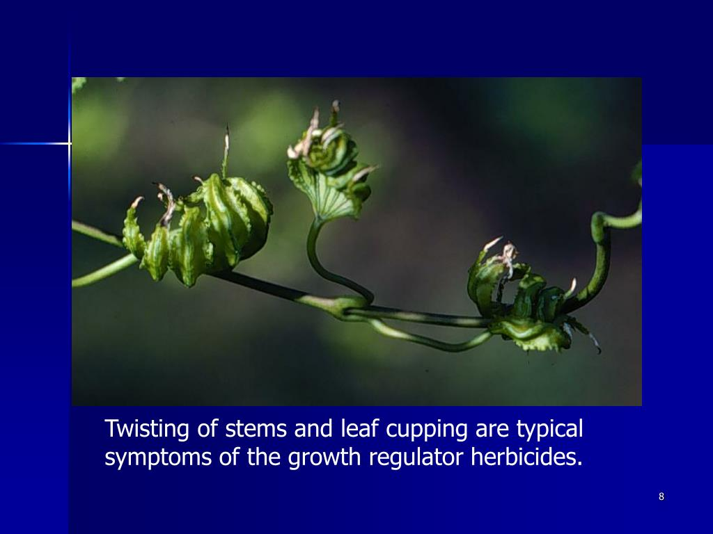 Twisting of stems and leaf cupping are typical symptoms of the growth regulator herbicides.