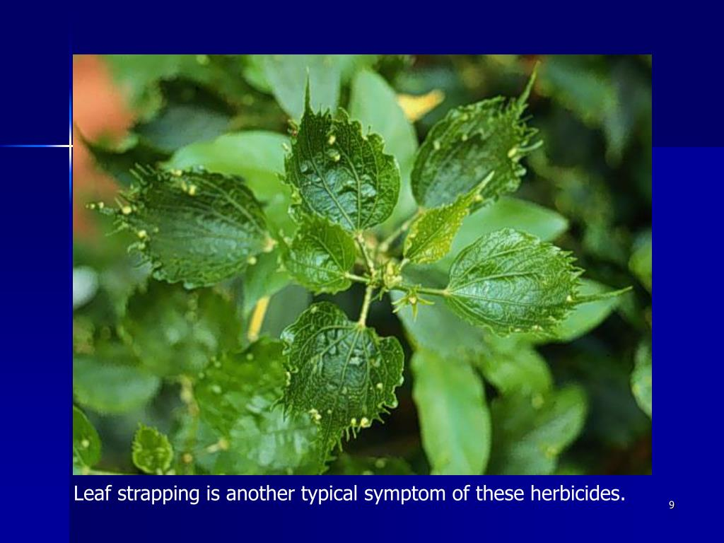 Leaf strapping is another typical symptom of these herbicides.