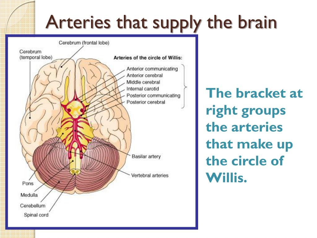 Arteries that supply the