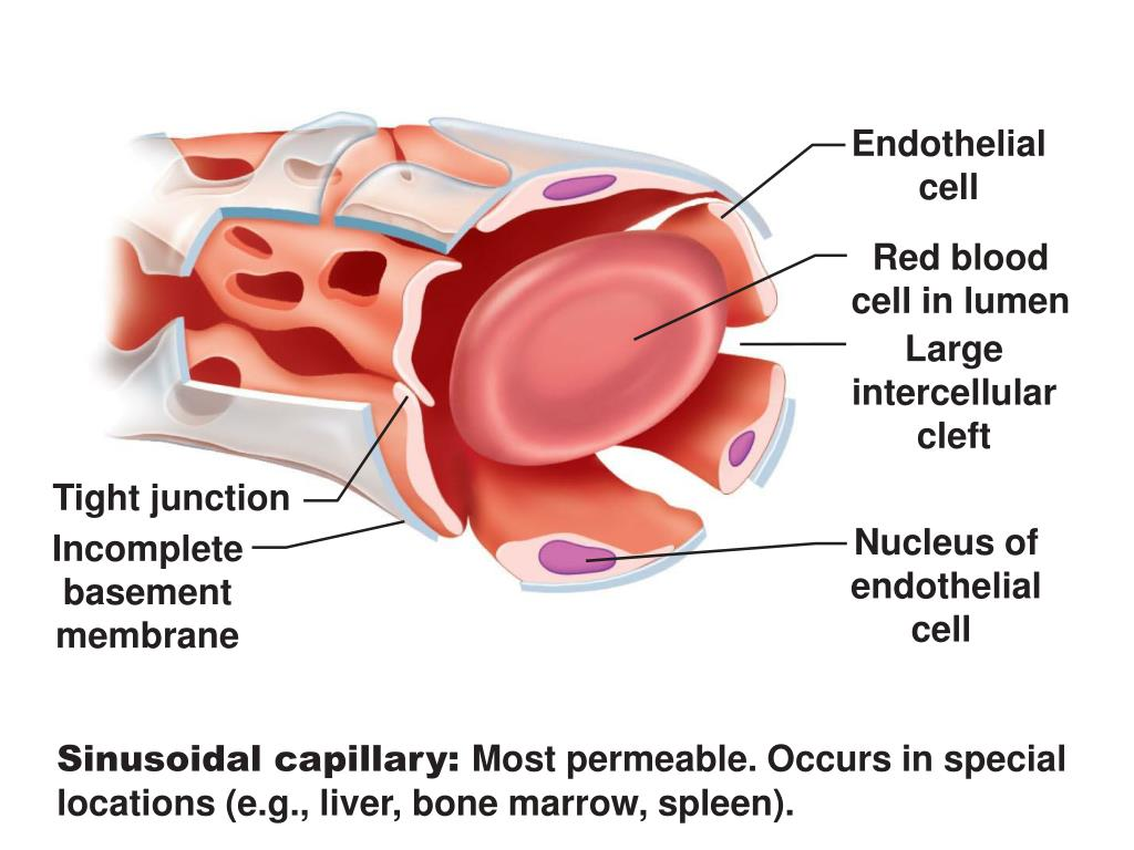Endothelial