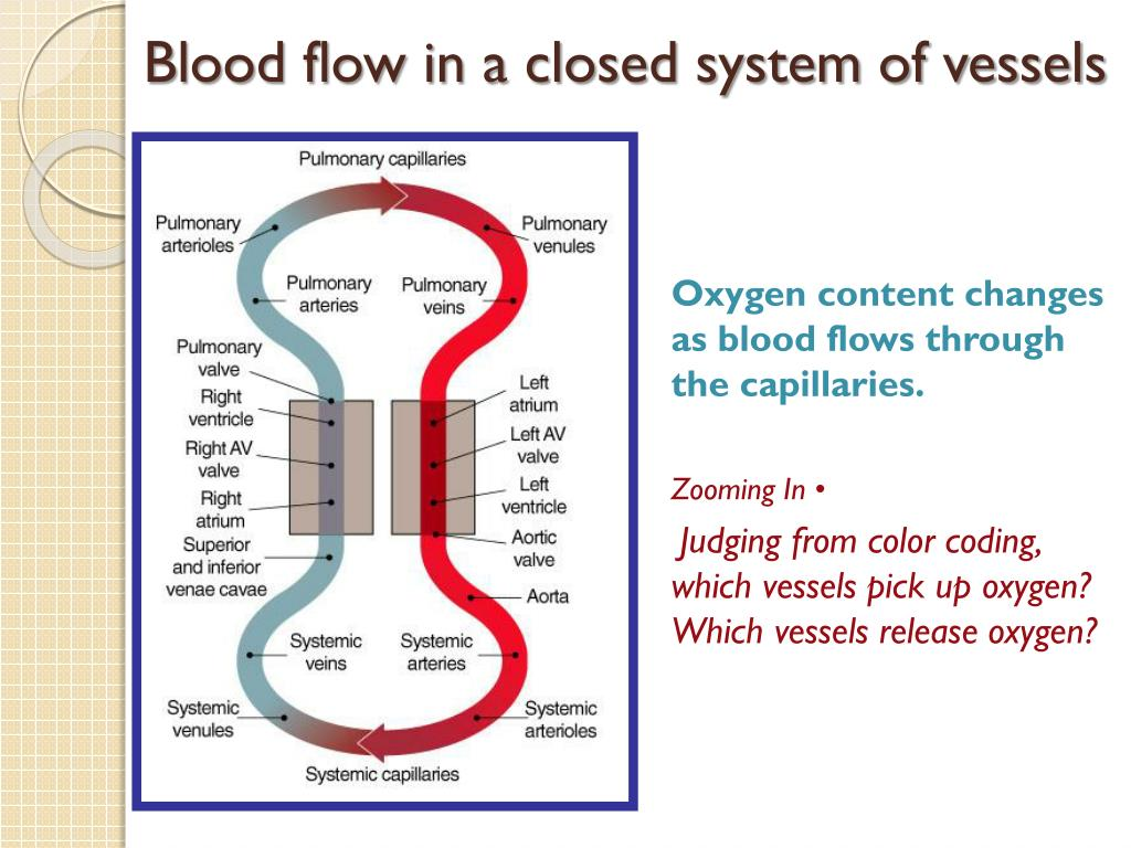 Blood flow in a closed system of
