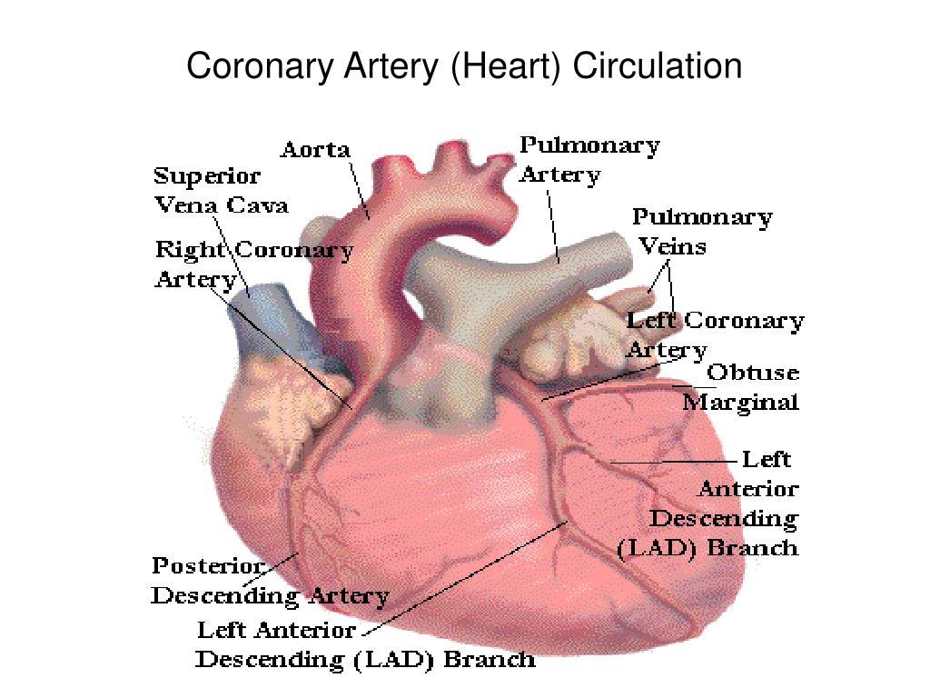 Coronary Artery (Heart) Circulation