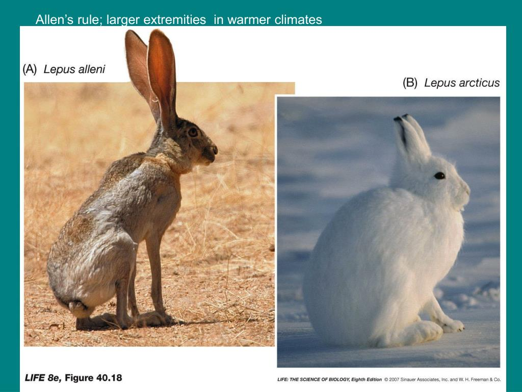 Allen's rule; larger extremities  in warmer climates