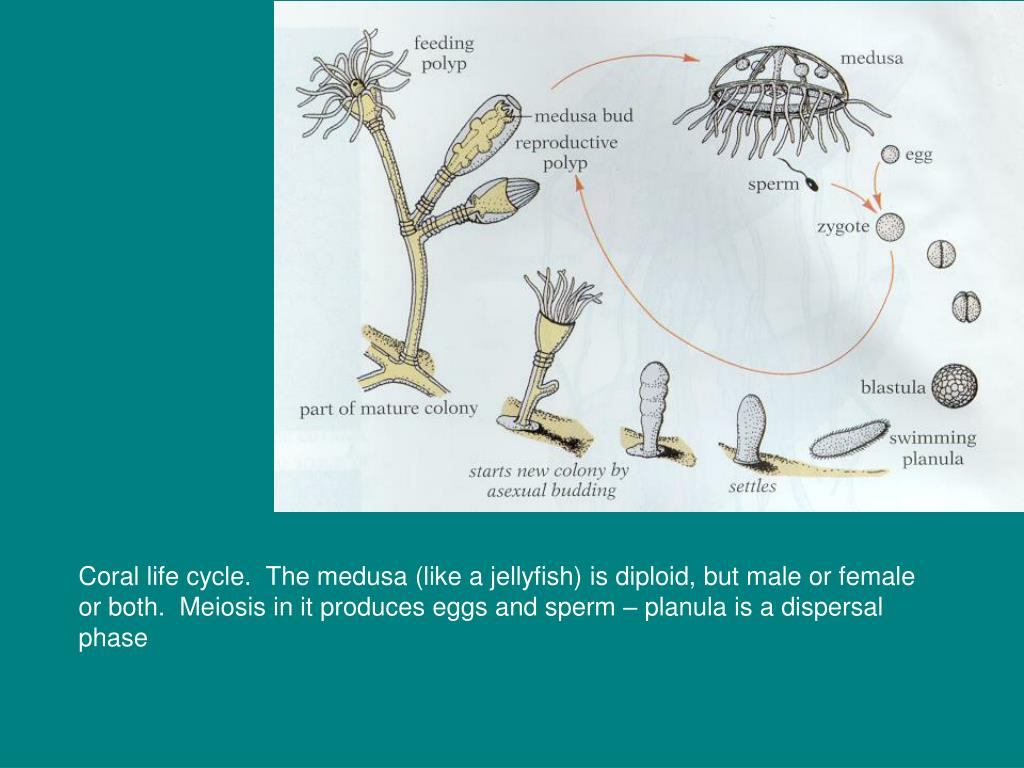 Coral life cycle.  The medusa (like a jellyfish) is diploid, but male or female or both.  Meiosis in it produces eggs and sperm – planula is a dispersal phase