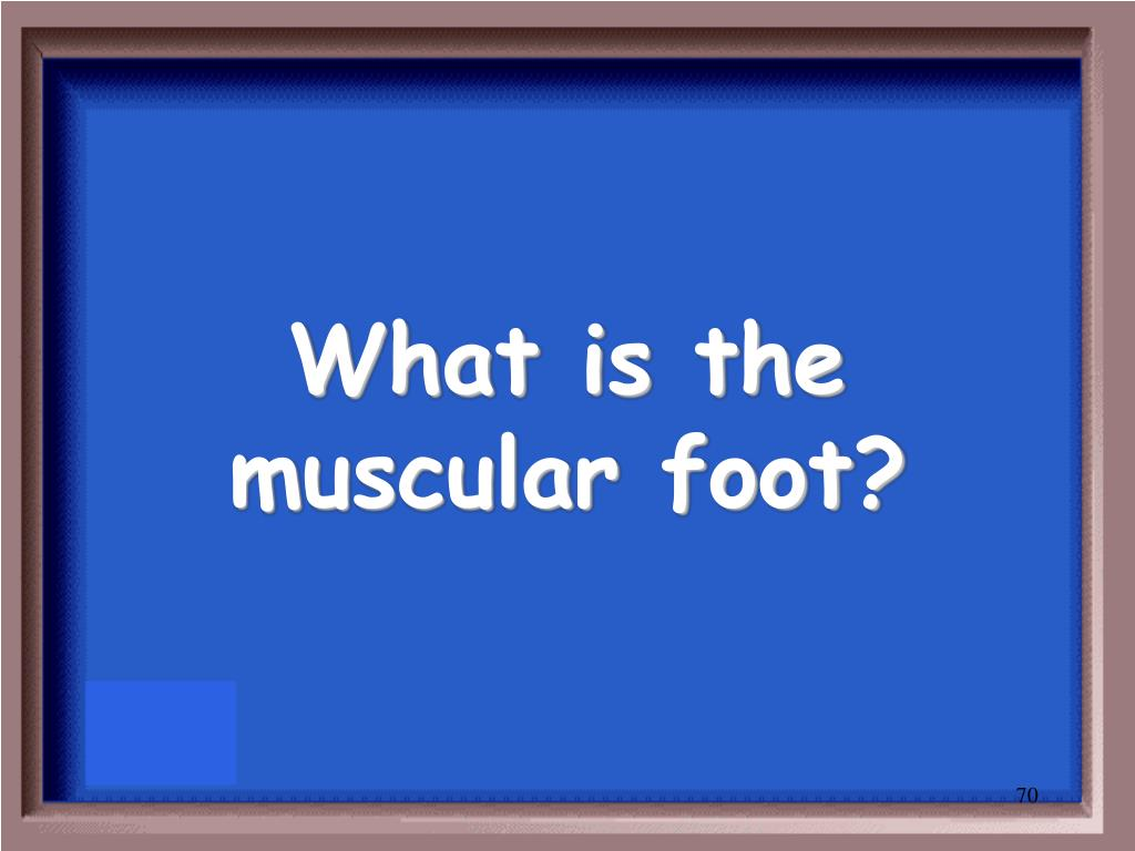 What is the muscular foot?