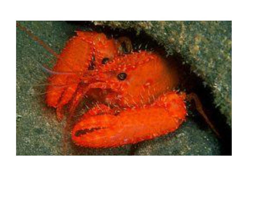 A Crustacean