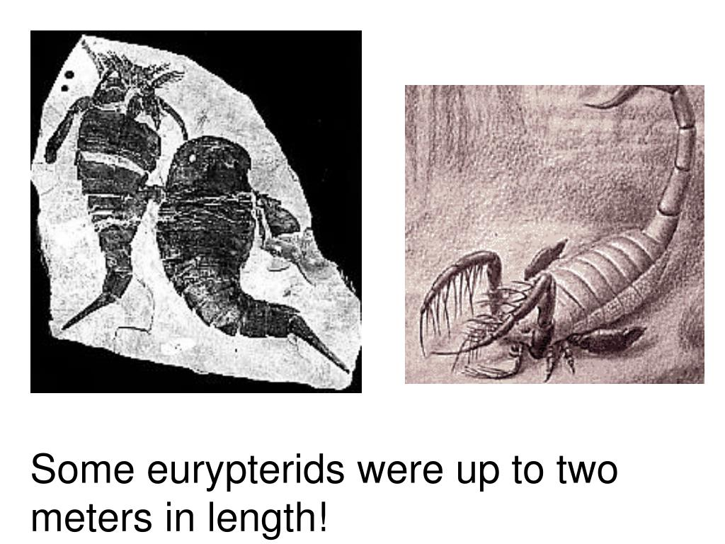 Some eurypterids were up to two meters in length!