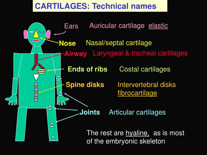 CARTILAGES: Technical names