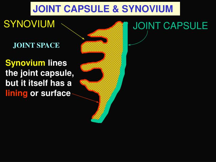 JOINT CAPSULE & SYNOVIUM