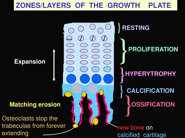 ZONES/LAYERS  OF  THE  GROWTH    PLATE