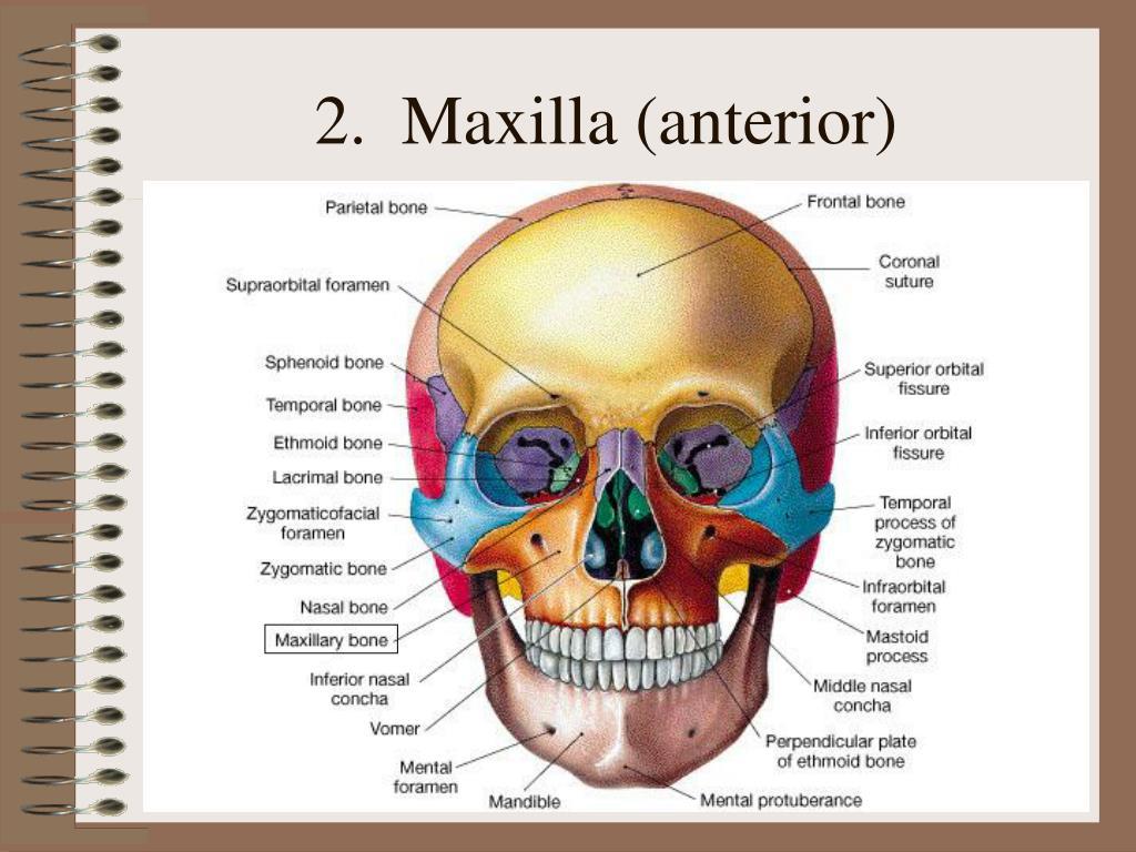 2.  Maxilla (anterior)