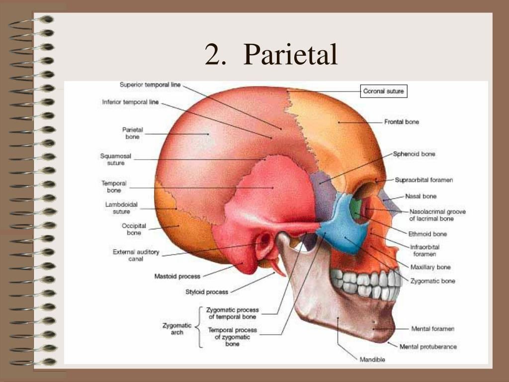 2.  Parietal
