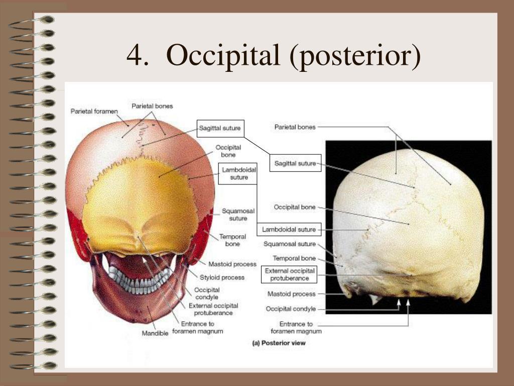 4.  Occipital (posterior)