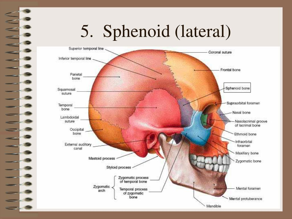 5.  Sphenoid (lateral)