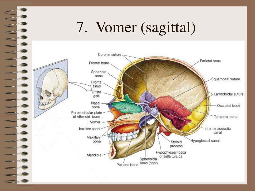 7.  Vomer (sagittal)