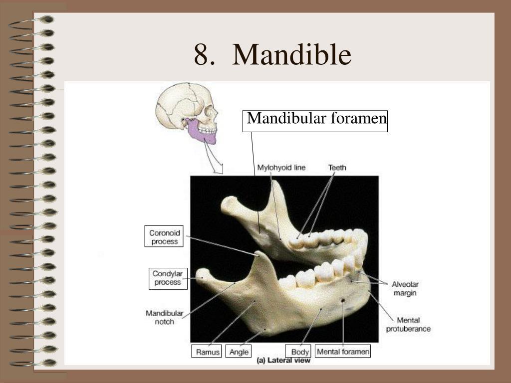 8.  Mandible