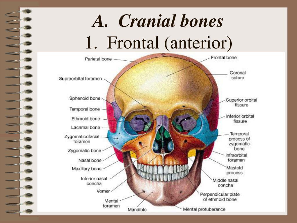 A.  Cranial bones