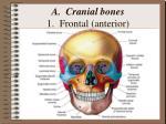 a cranial bones 1 frontal anterior