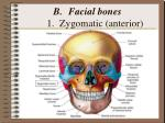 facial bones 1 zygomatic anterior