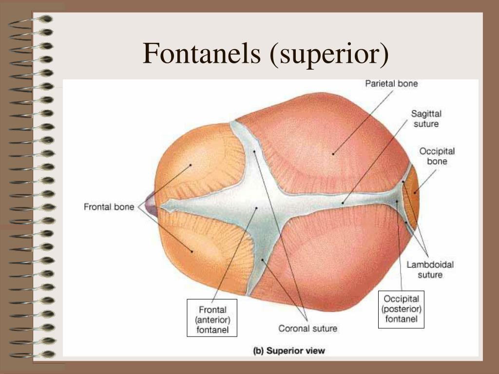 Fontanels (superior)