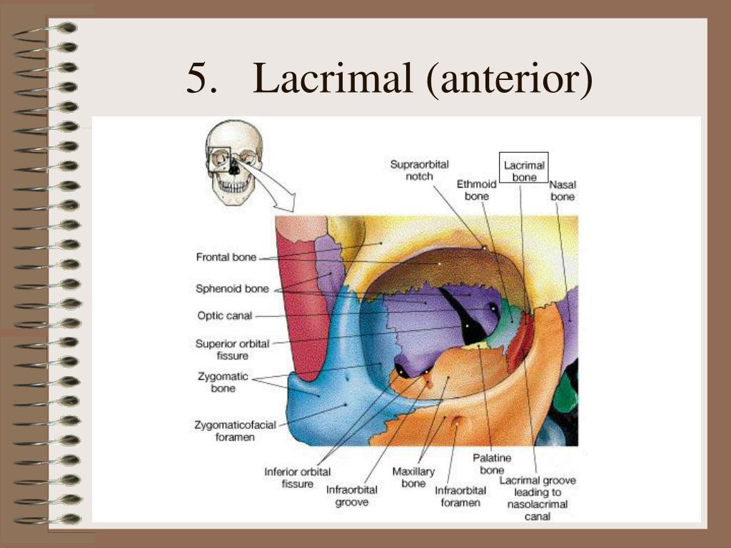 Lacrimal (anterior)