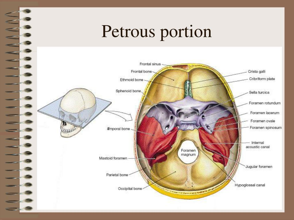 Petrous portion