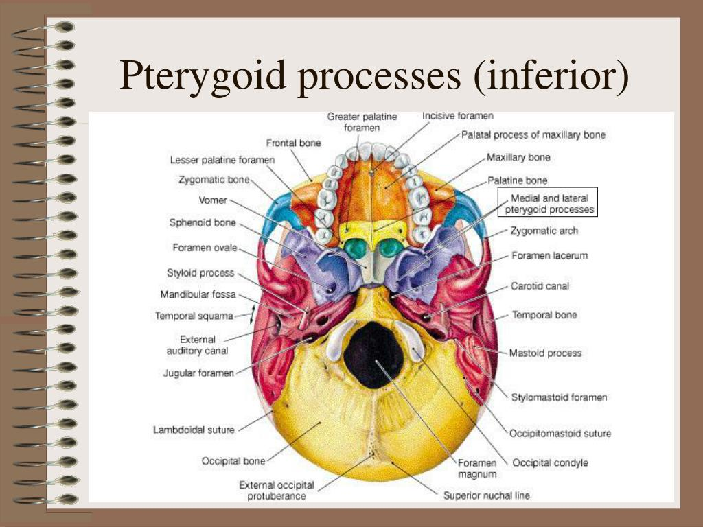 Pterygoid processes (inferior)