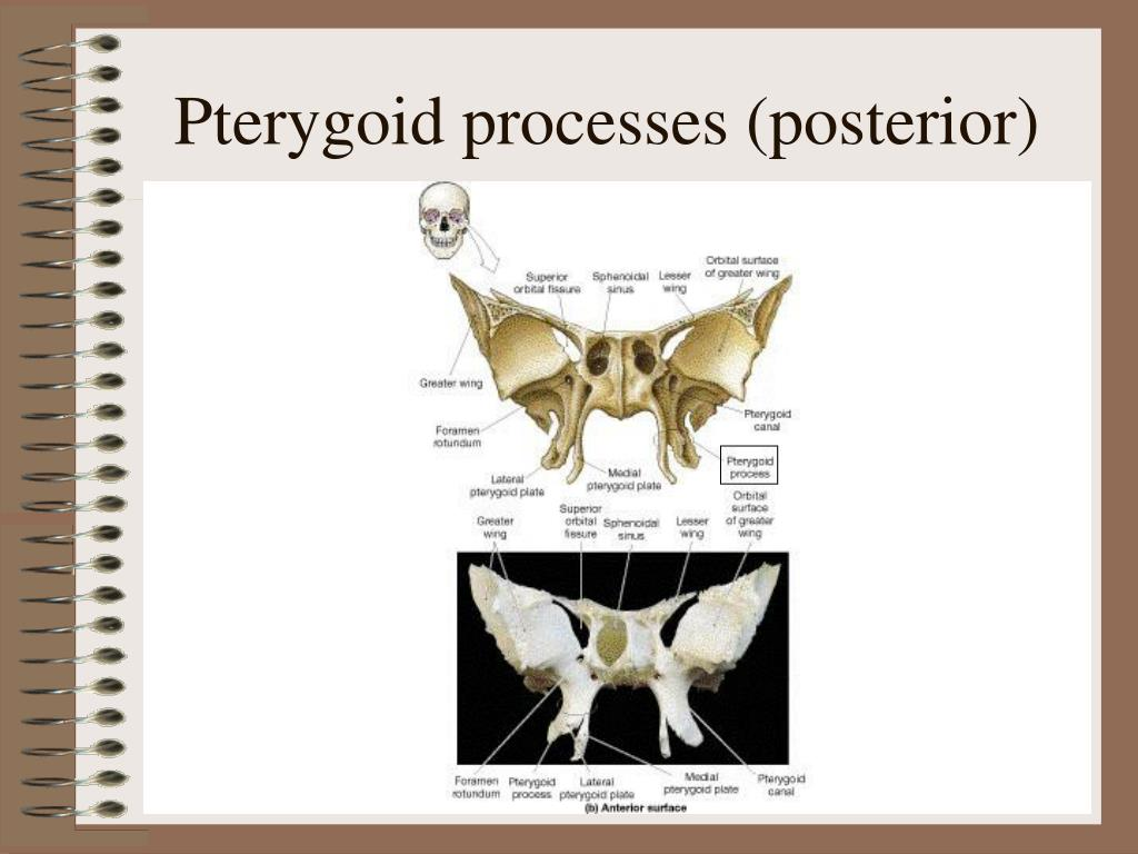 Pterygoid processes (posterior)