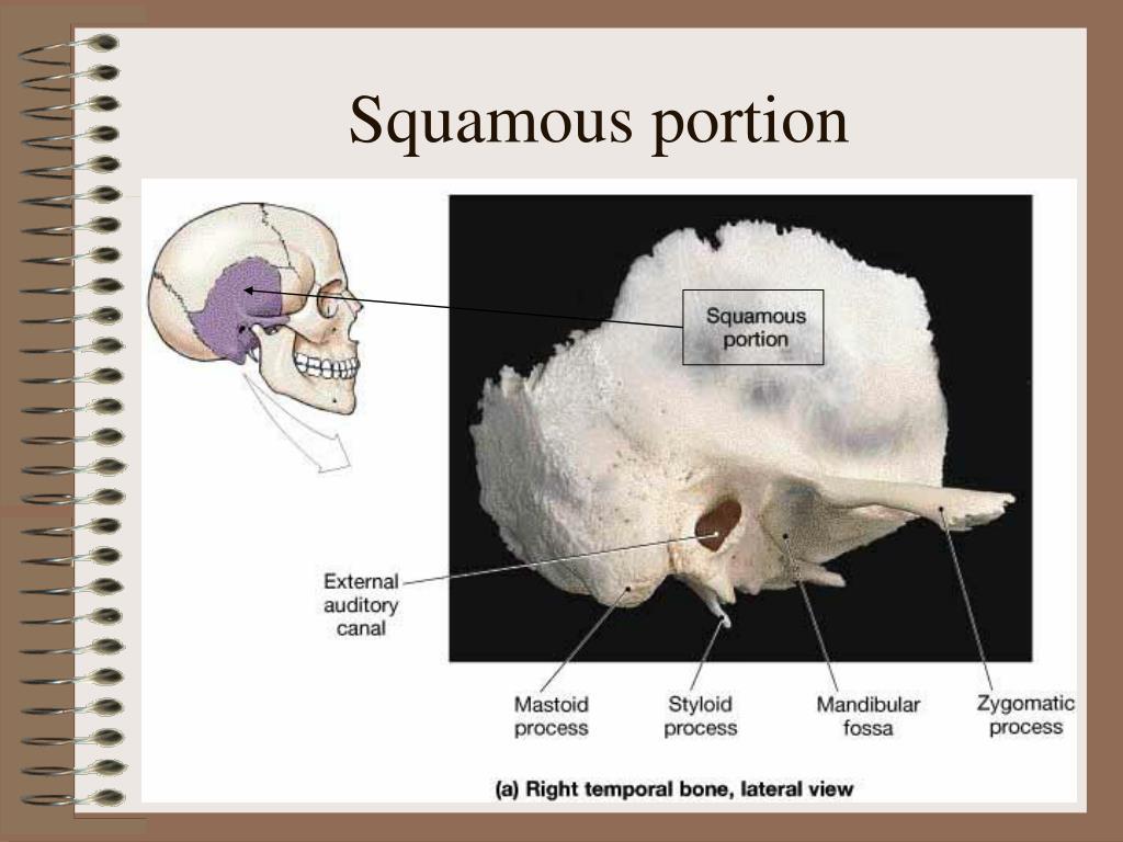Squamous portion