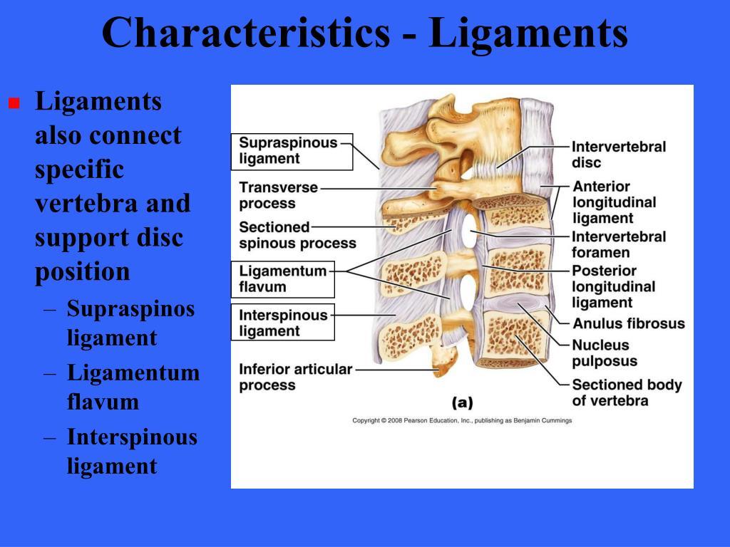 Characteristics - Ligaments
