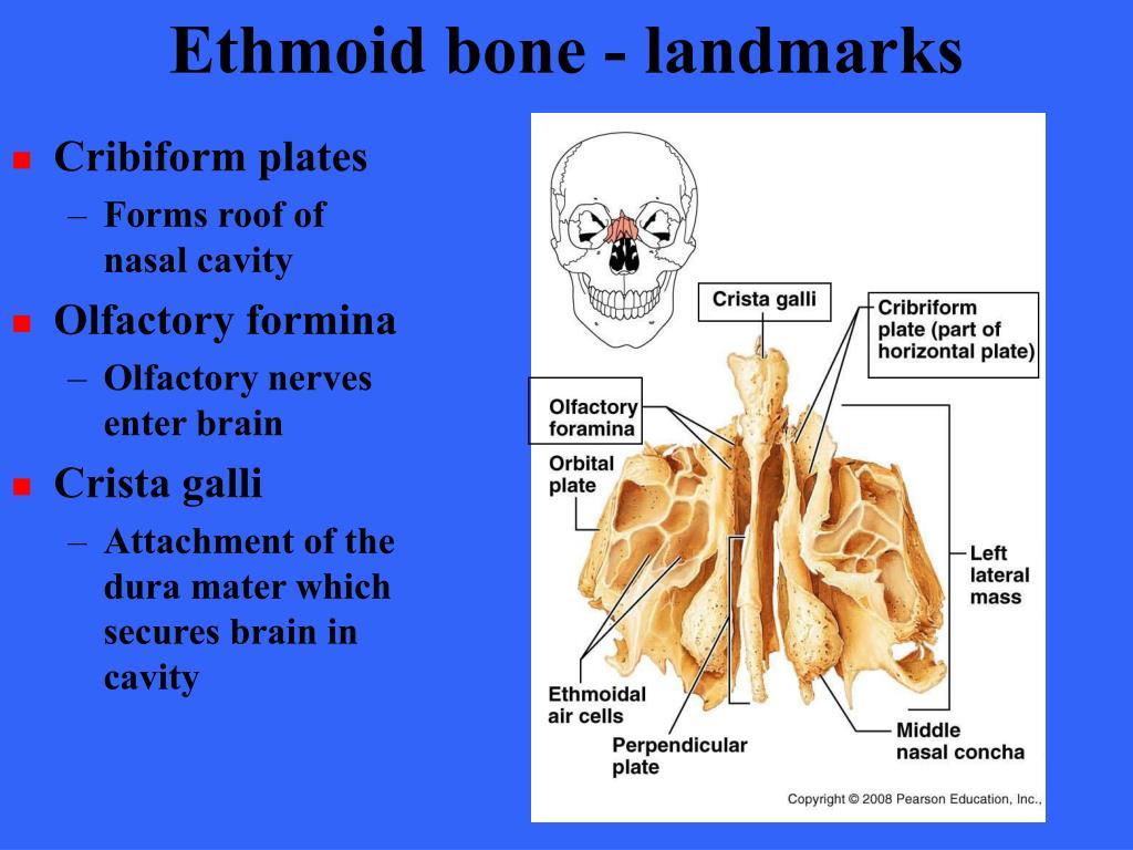 Ethmoid bone - landmarks