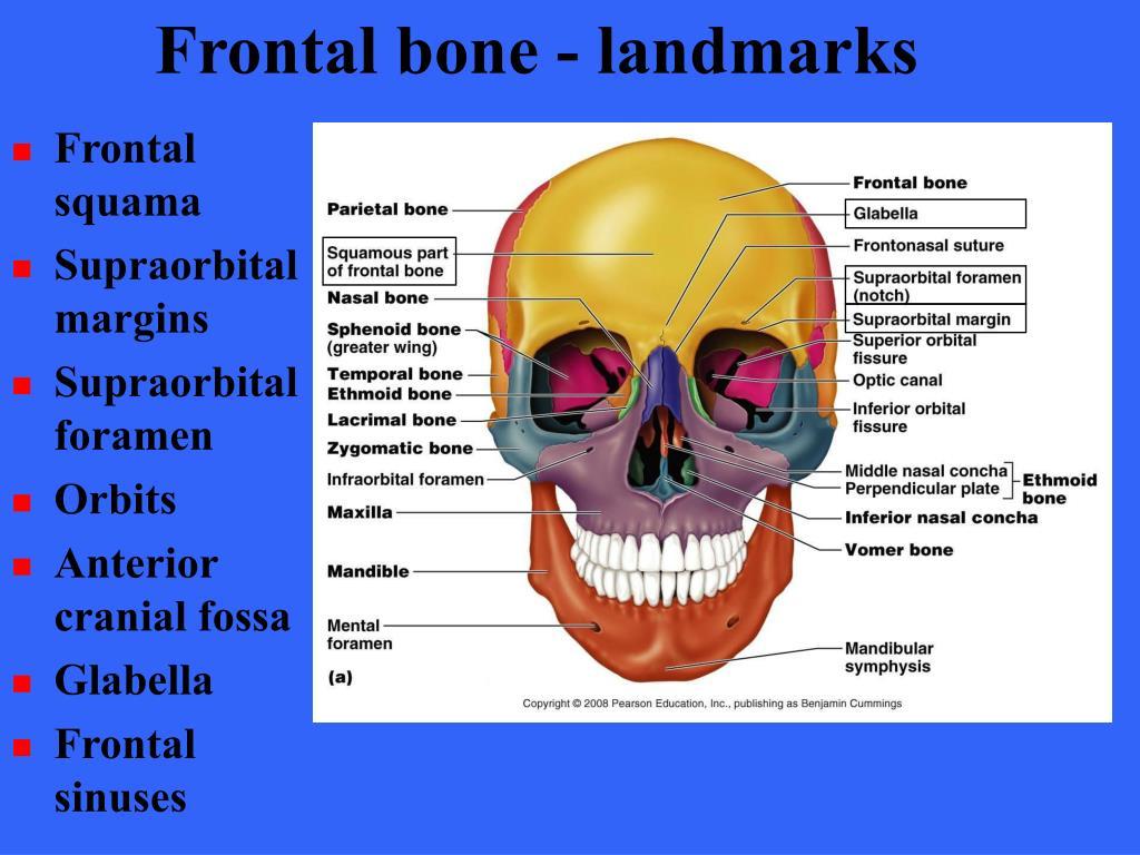Frontal bone - landmarks
