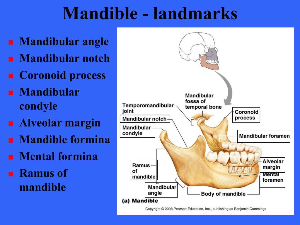 Mandible - landmarks