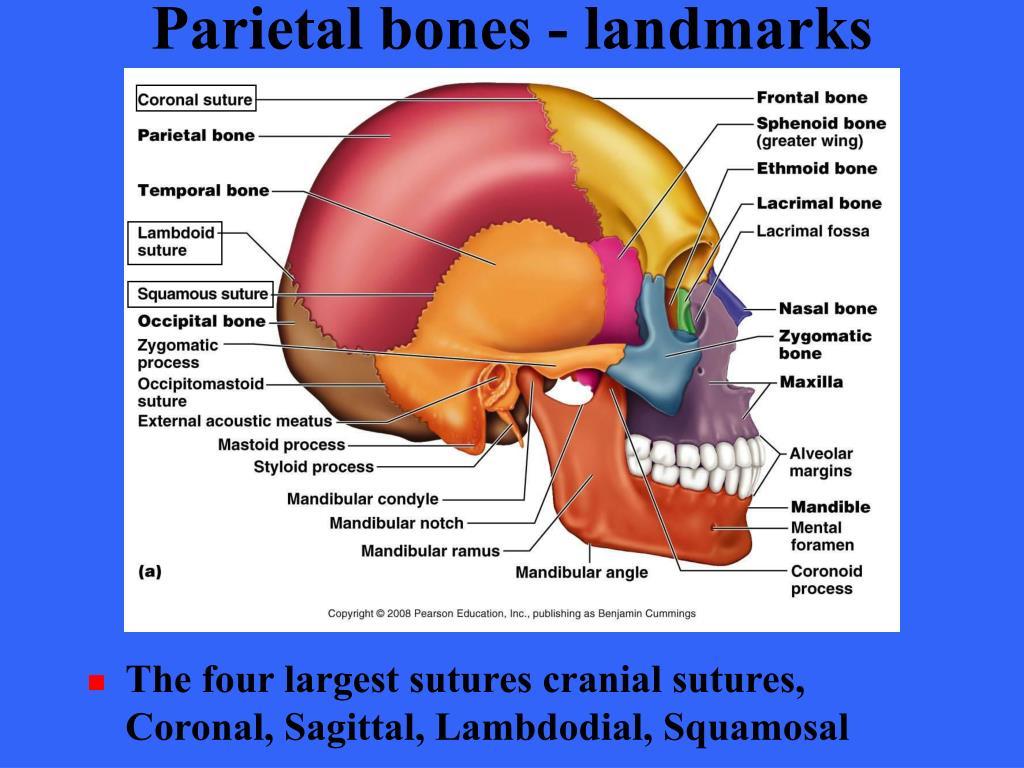 Parietal bones - landmarks