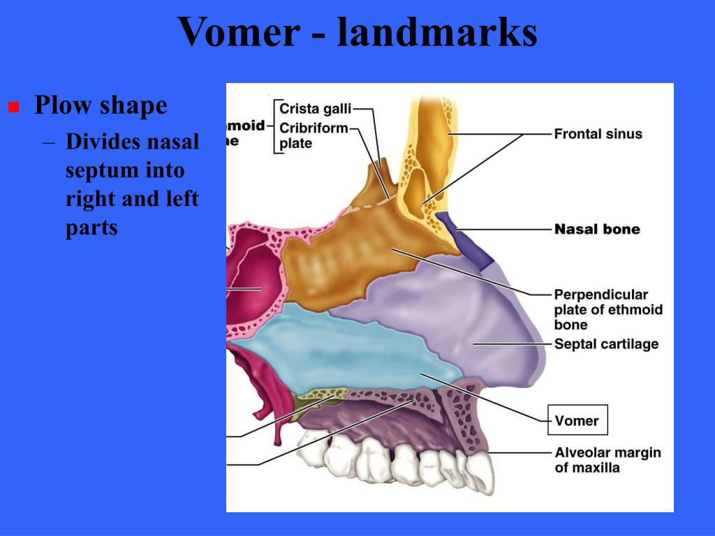 Vomer - landmarks