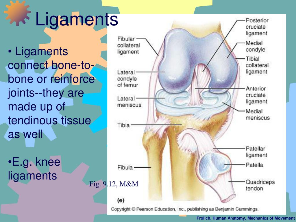 Ligaments connect bone-to-bone or reinforce joints--they are made up of tendinous tissue as well