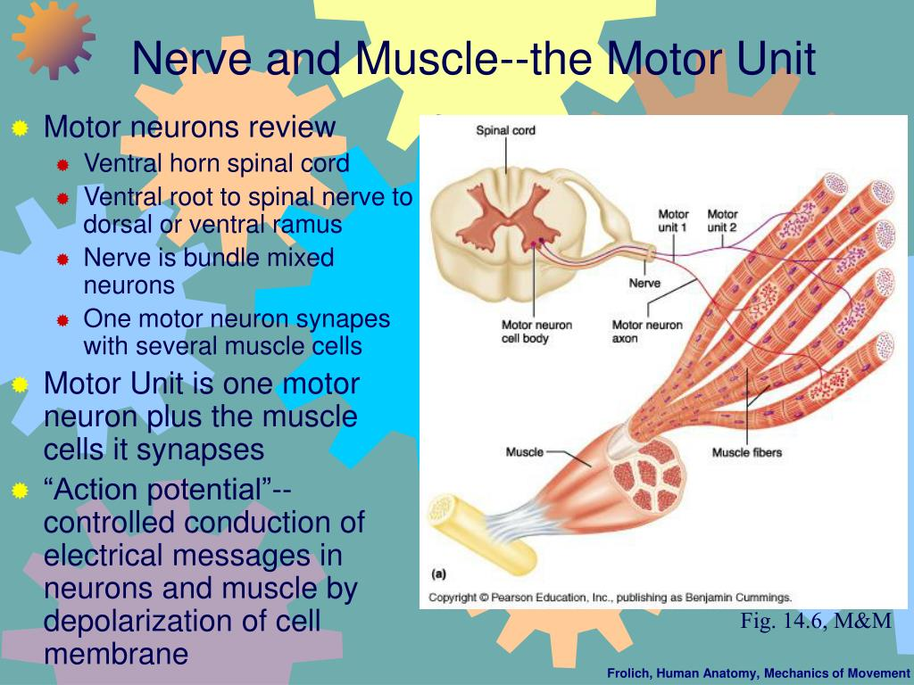 Nerve and Muscle--the Motor Unit