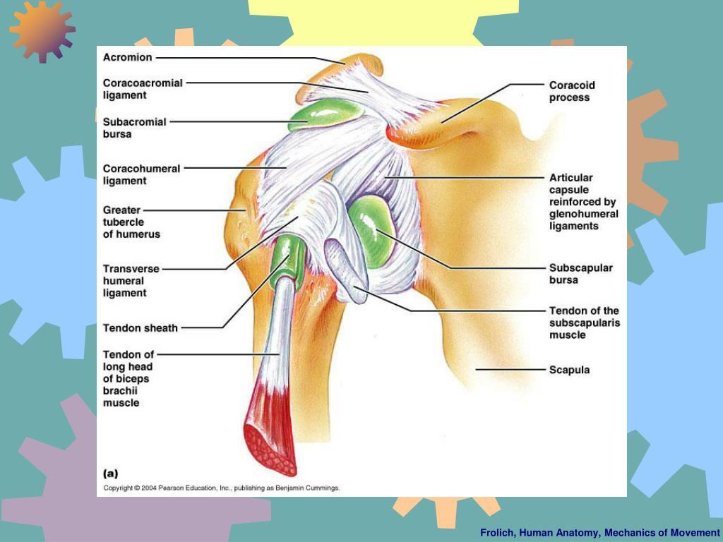Frolich, Human Anatomy, Mechanics of Movement