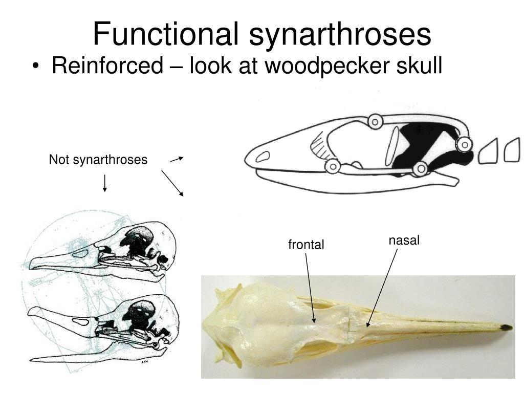 Functional synarthroses