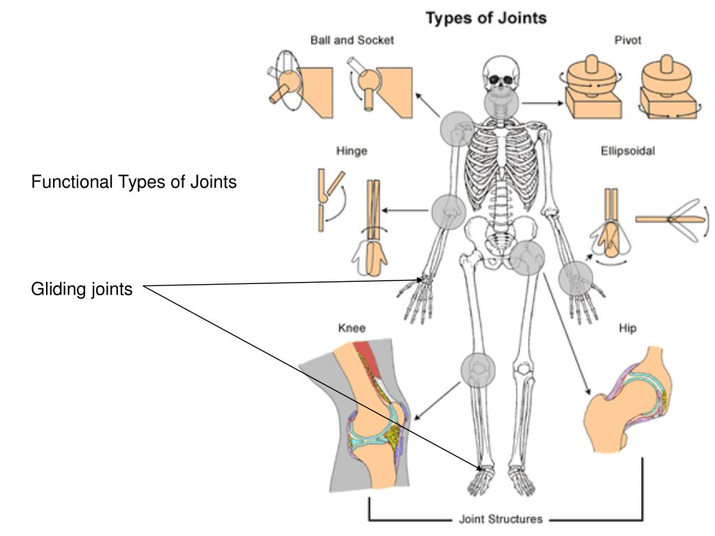 Functional Types of Joints