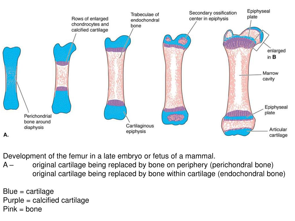 Development of the femur in a late embryo or fetus of a mammal.