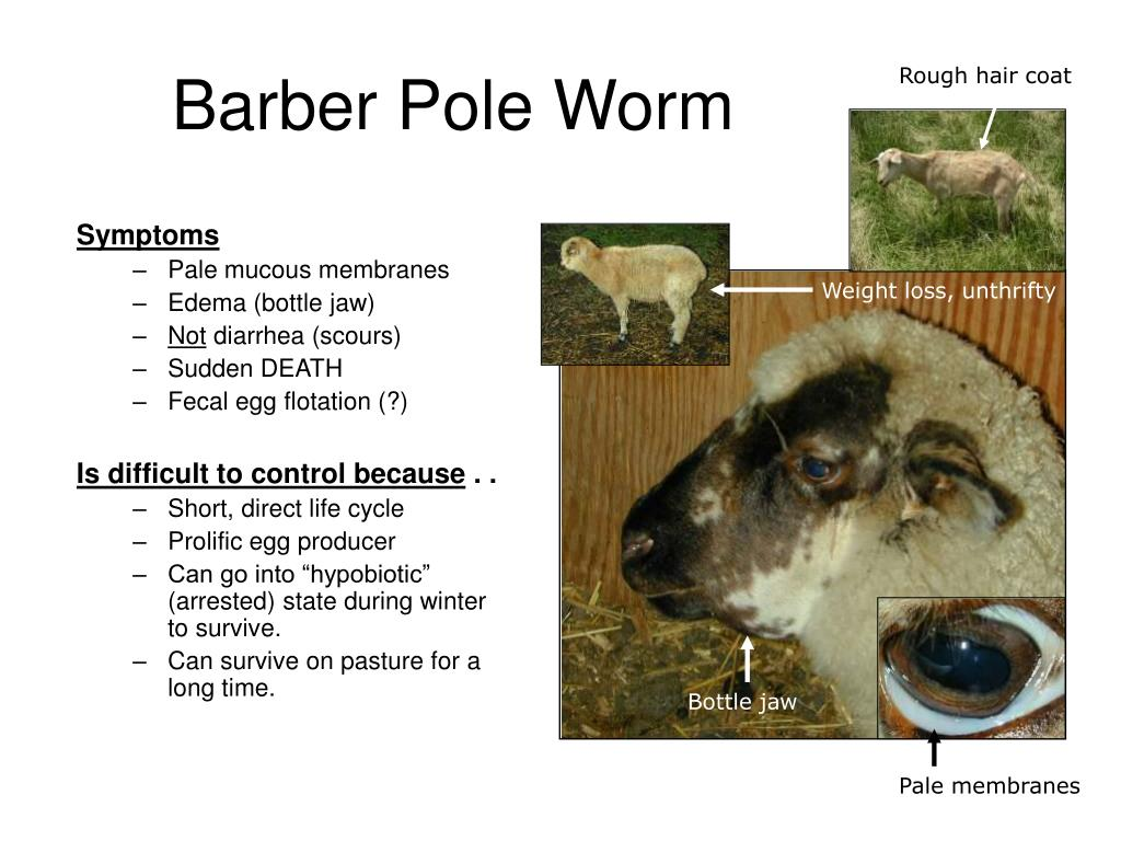 Barber Pole Worm