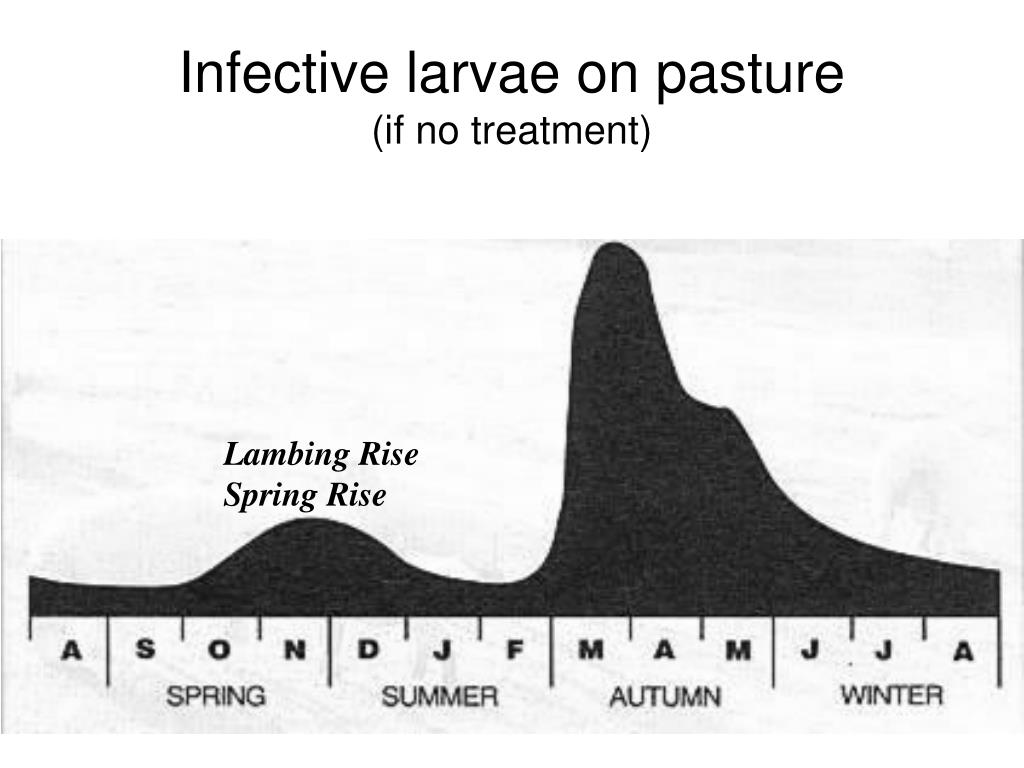 Infective larvae on pasture