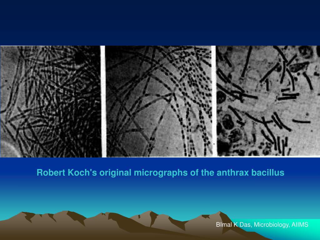 Robert Koch's original micrographs of the anthrax bacillus