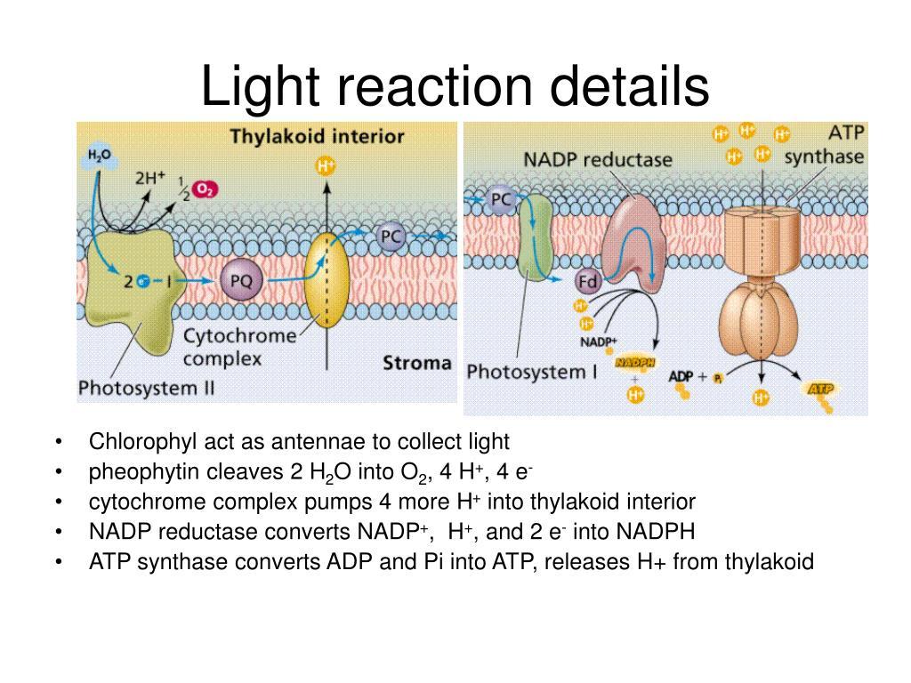 Light reaction details