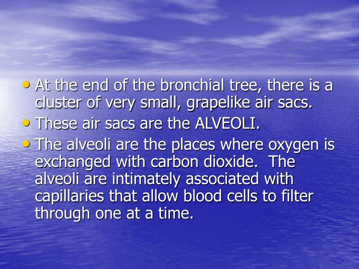 At the end of the bronchial tree, there is a cluster of very small, grapelike air sacs.