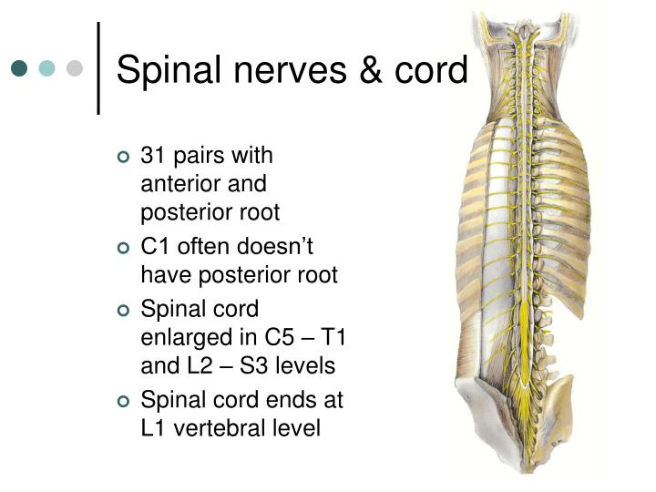 Spinal nerves & cord